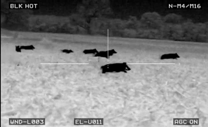 Teksas'taki avcılar, popülasyon kontrolü için 100 domuzu termal kamerayla vurmuş