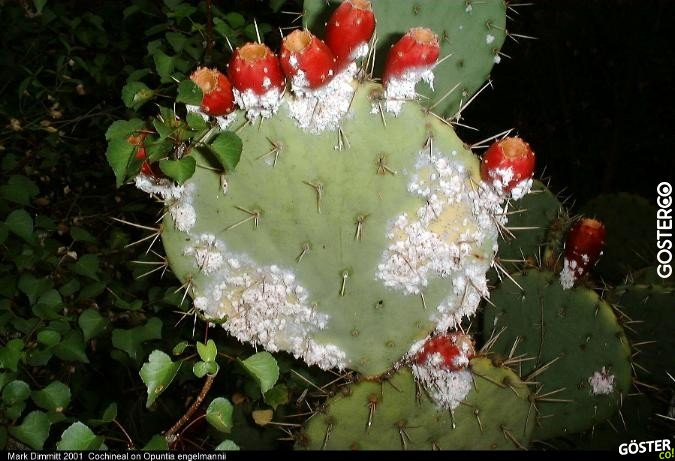 Opuntia Engelmannii with Cochineal
