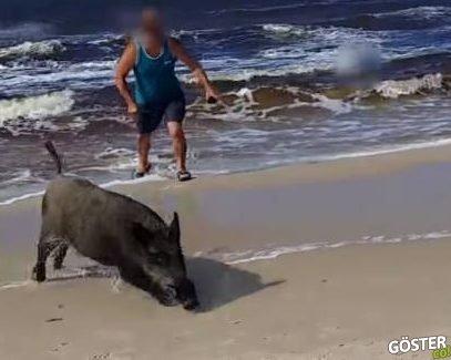 Hiç Beklenmedik Anda Plajda Güneşlenenlere Saldıran Domuz