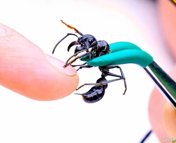 """Eğer Bir Adamın """"Mermi Karınca"""" Tarafından Sokulduğunu Görmek İstiyorsanız, Şanslı Gününüzdesiniz"""