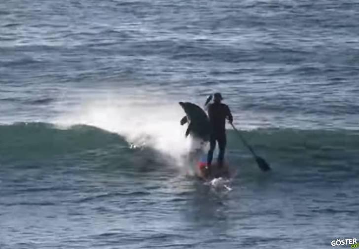Sörfçüye Kafa Atan Psikopat Yunus Balığı