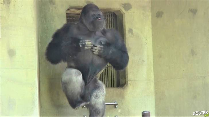 Hayvanat bahçesinin yaramaz çocuğu dev gorilin diğer maymunlara sataşması