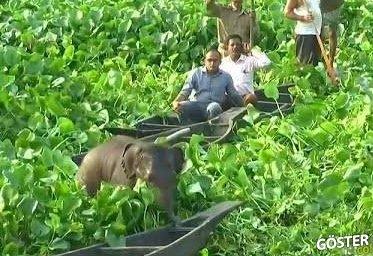 Hindistan'da bataklıkta mahsur kalan yavru fil kurtarıldı