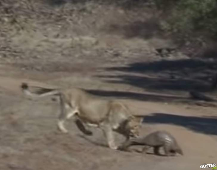 """COVID-19 ile tanıdığımız """"pangolin"""" adlı hayvanı, aslanlar bile alt edemiyor"""