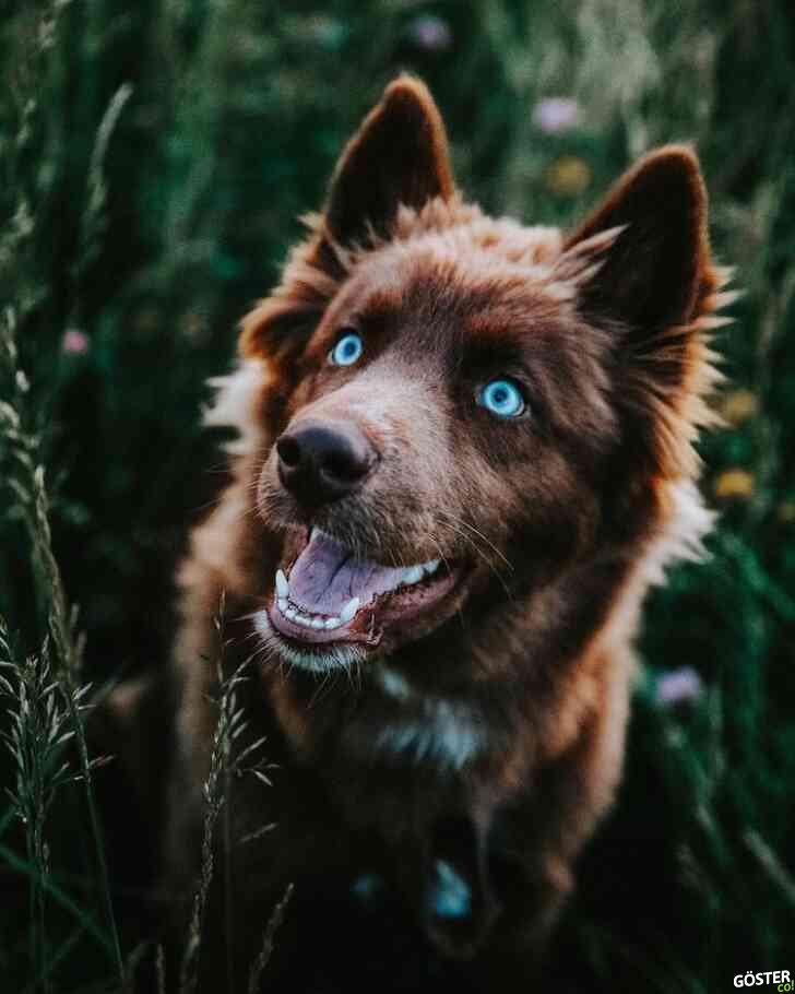 Bu Sibirya kurdu, Instagram'daki köpeklerin yeni yıldızı